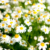 Essential Oil 3% CHAMOMILE BULK 200ml