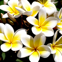 Essential Oil 3% FRANGIPANI BULK 200ml