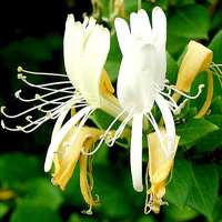 Essential Oil 3% HONEYSUCKLE BULK 200ml