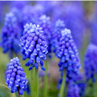 Essential Oil 3% HYACINTH BULK 1kg
