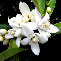 Essential Oil 3% NEROLI BULK 200ml
