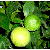 Essential Oil BERGAMOT BULK 1kg