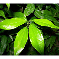 Essential Oil CINNAMON LEAF BULK 1kg