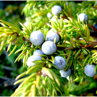 Essential Oil JUNIPER BERRY BULK 200ml