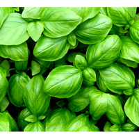 Essential Oil BASIL BULK 1kg