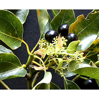 Essential Oil CAMPHOR BULK 200ml