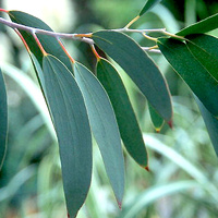 Essential Oil EUCALYPTUS BULK 200ml