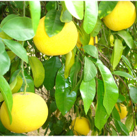 Essential Oil GRAPEFRUIT BULK 1kg