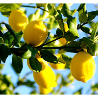 Essential Oil LEMON BULK 200ml