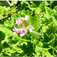 Essential Oil ROSE GERANIUM BULK 500ml