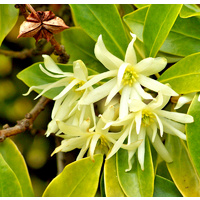Essential Oil STAR ANISE BULK 200ml